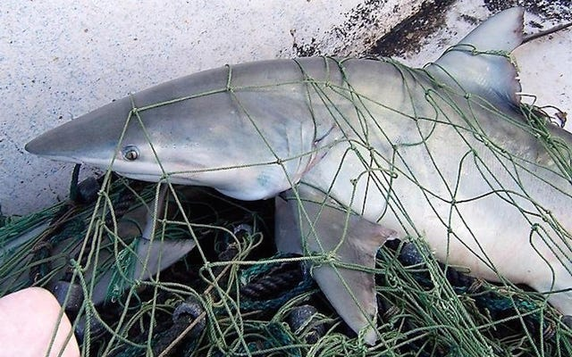 Les requins peuvent sentir l'électricité, et cela pourrait les sauver de l'extinction