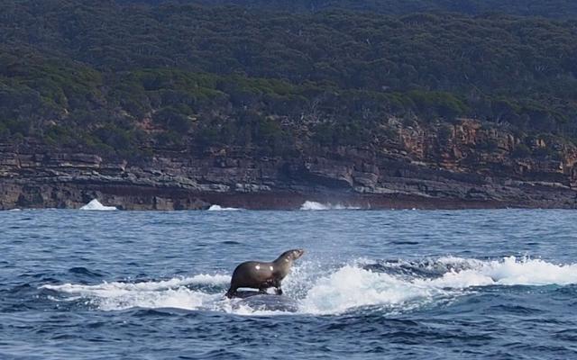 クレイジーな写真は、クジラをサーフボードとして使用したアザラシを示しています