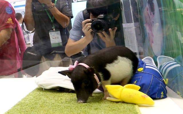 """उत्परिवर्तित """"माइक्रोपिग्स"""" जल्द ही पालतू जानवरों के रूप में बेचा जाएगा"""