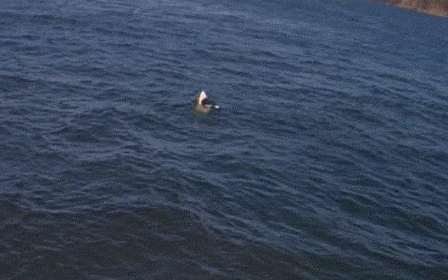 サンフランシスコでホオジロザメがアザラシをジャンプするのを見る