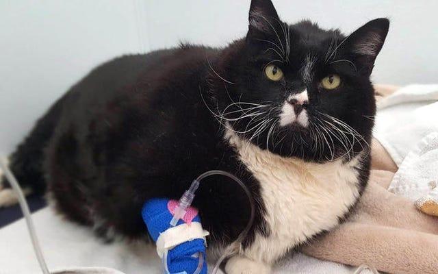 Bu 38 Kiloluk Şişman Kedi Şimdi İyileşiyor
