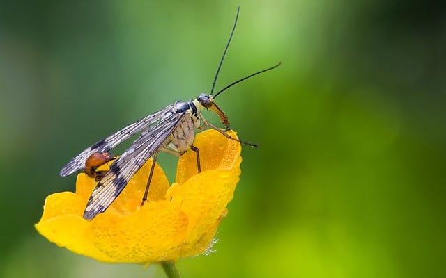 Жало скорпионовой мухи предназначено для спаривания, а не для защиты