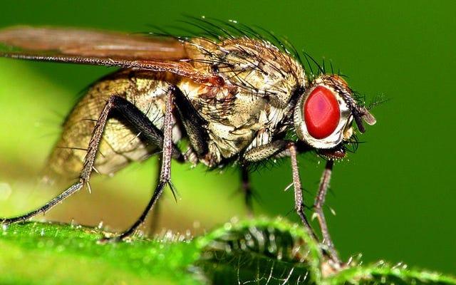 Observa cómo una mosca sin alas intenta escapar
