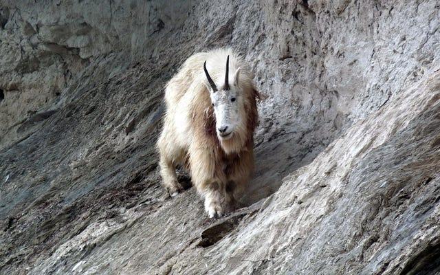 Badass Mountain Goat tötet Grizzlybären im kanadischen Nationalpark