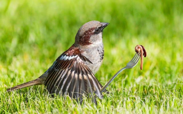 Filmowiec przyrodniczy oskarżony o inscenizację sceny, w której ptak używa maleńkiego widelca, by kręcić robakiem jak spaghetti