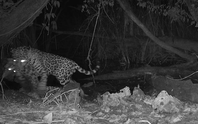 前例のないカメラトラップの映像は、ジャガーがオセロットを捕らえていることを示しています