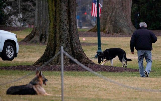 राष्ट्रपति बिडेन के कुत्ते रिपब्लिकन हैं, हादसे के बाद व्हाइट हाउस से बाहर निकले