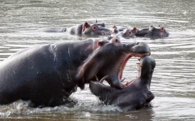 हिप्पो पू पूर्वी अफ्रीका में मछली का शिकार कर रहा है
