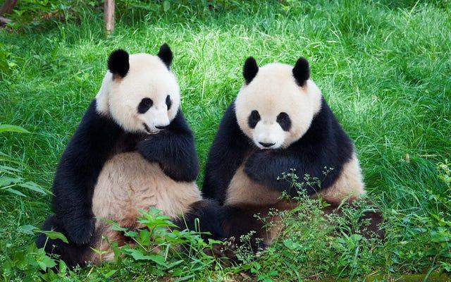 Le Sénat adopte un projet de loi de 50 milliards de dollars pour lutter contre l'influence chinoise en développant ses propres pandas
