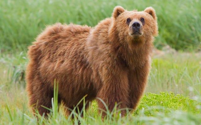 650 फुट की चट्टान से भालू का पीछा करने के बाद मारे गए सैकड़ों भेड़