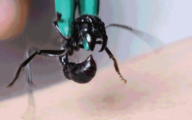 Ver a un hombre picarse con el insecto más doloroso de la Tierra te dará pesadillas