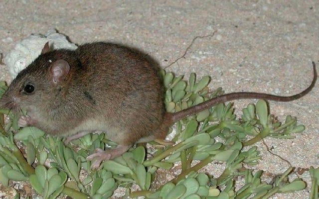 Este lindo roedor es el primer mamífero en extinguirse debido al cambio climático causado por los humanos