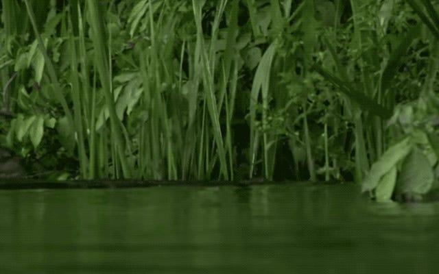 このワニは、カブの群れをストーキングするのは良い考えではないことを発見するのが遅すぎます