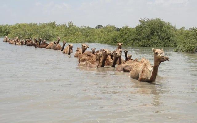 La lutte pour sauver les derniers chameaux nageurs sur Terre
