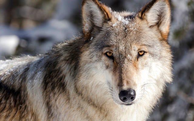 氷河期の冬の間に肉が多すぎると犬が増えた、と新しい研究が示唆している