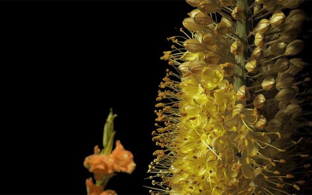 Il a fallu trois ans pour filmer ce spectaculaire timelapse de centaines de fleurs en fleurs