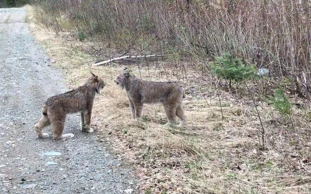 Trời ơi, nghe hai con linh miêu này réo rắt với nhau