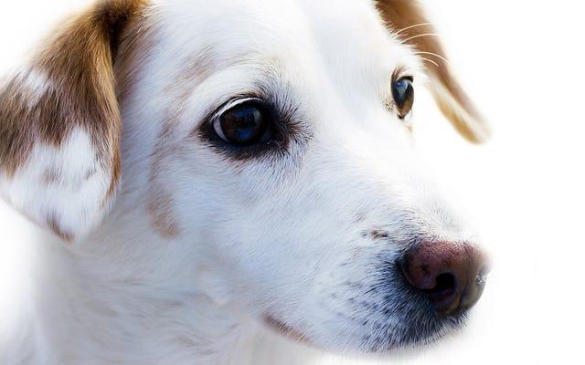 आनुवांशिक परीक्षण से पता चलता है कि आश्रयों को अक्सर गलत नस्ल के कुत्तों को लेबल किया जाता है