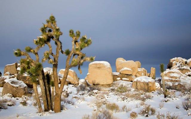 雪に覆われた平和なジョシュアツリーに癒される