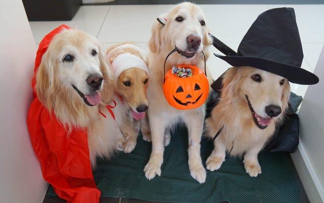 Evcil Hayvanlarınıza Cadılar Bayramı Şekeri Vermeyin