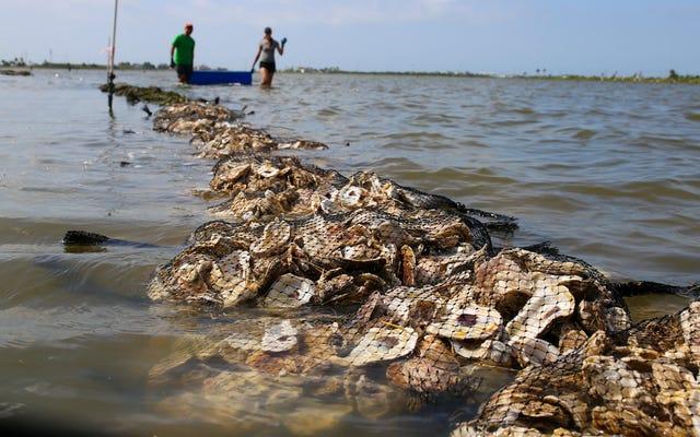 Un programa está convirtiendo las conchas de ostras desechadas en un tesoro