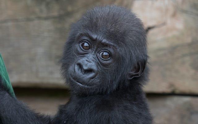 いいえ、中国の動物園は赤ちゃんのゴリラハランベ射殺事件に名前を付けませんでした