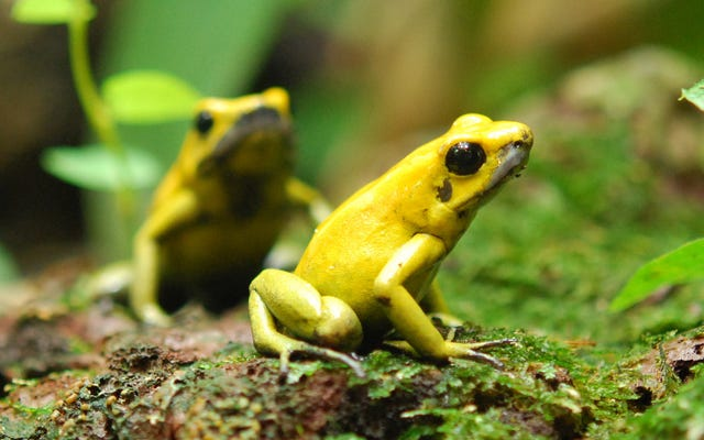 Dünyadaki En Ölümcül Kurbağalar Kendilerini Zehirlemekten Nasıl Kurtulur?