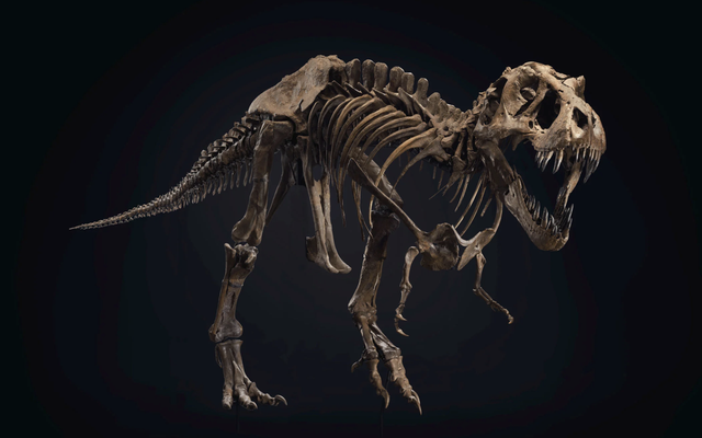 Bán đấu giá bộ xương T. Rex hoàn thành bất thường có thể phá vỡ kỷ lục bán hàng