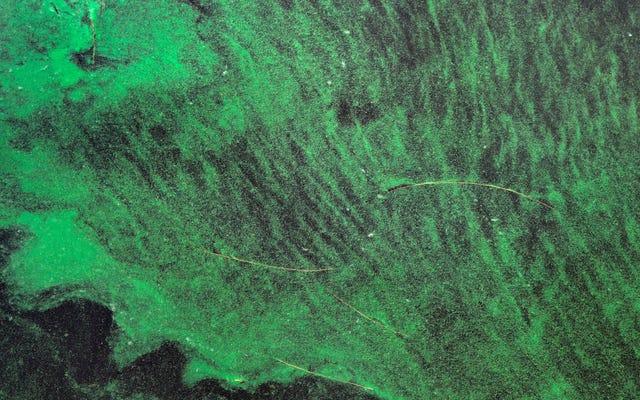 池のスカムからの危険な毒素が空中に浮遊する可能性がある、研究が発見