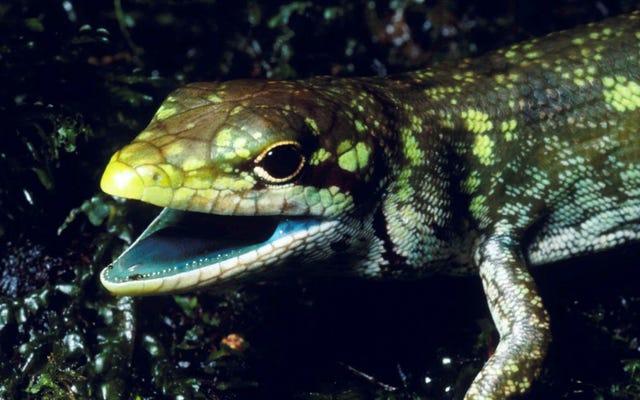 これらのトカゲの緑色の有毒な血は、それらを殺すのではなく保護します、そして科学はまだ理由を知りません