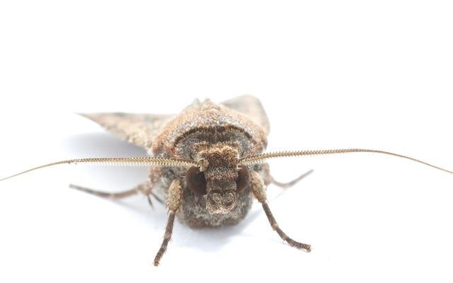 Les papillons de nuit Bogong sont le premier insecte connu à utiliser le magnétisme terrestre pour naviguer la nuit