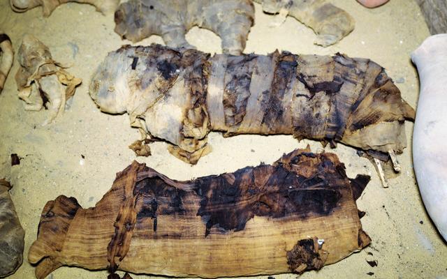 Puluhan mumi kucing ditemukan di makam Mesir berusia 2.500 tahun