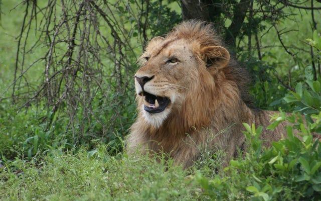 Hình ảnh hai thợ săn hôn nhau trước con sư tử mà họ vừa giết được lan truyền mạnh mẽ