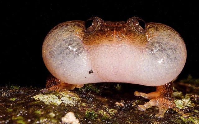 Недавно обнаруженная позиция для спаривания показывает, что у лягушек странная сексуальная жизнь