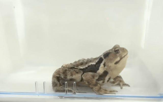 飲み込まれたボンバルディアカブトムシは、お尻から熱い化学物質を吐き出し、捕食者をバーフにします
