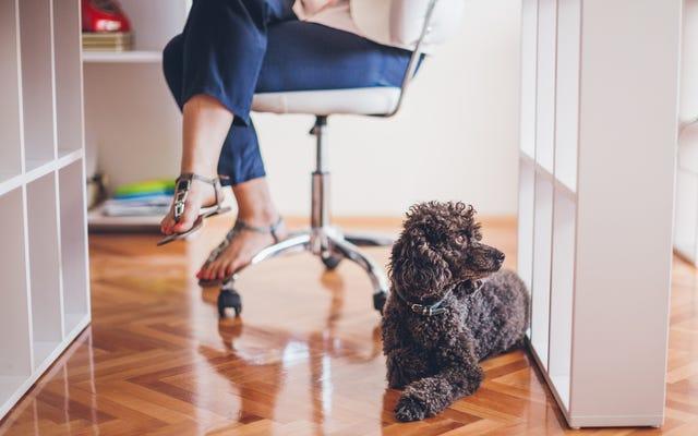 Tại sao người ta mang chó đi làm?