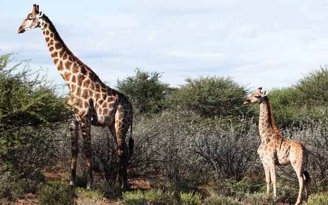 Des scientifiques découvrent des girafes corgi à pattes courtes