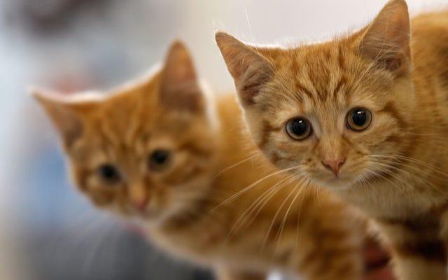Comment traiter les allergies aux chats