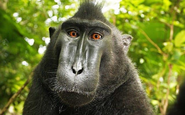 Monyet Pencinta Swafoto Memiliki Kesempatan Kedua untuk Menuntut Pelanggaran Hak Cipta
