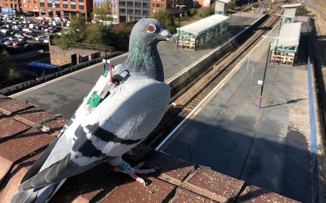 科学者たちは、天気に関するデータを収集するために小さなバックパックを備えた鳩を使用しています