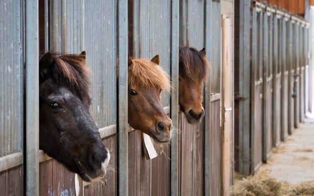Badania sugerują, że konie potrafią powiedzieć, w jakim jesteś nastroju i zapamiętają