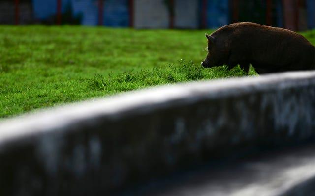 Охотник из Флориды заразился редкой инфекцией мозга от диких свиней
