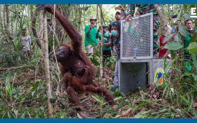 Познакомьтесь с учеными, пытающимися спасти находящихся под угрозой исчезновения орангутанов Индонезии