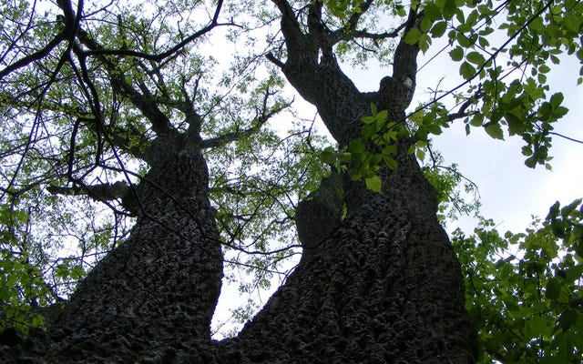 アメリカのトネリコの木は一掃されています—これがあなたがそれらを助けることができる方法です