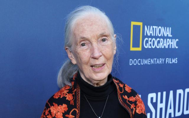 Jane Goodall powraca z ostatniej wyprawy z irytującym akcentem szympansa