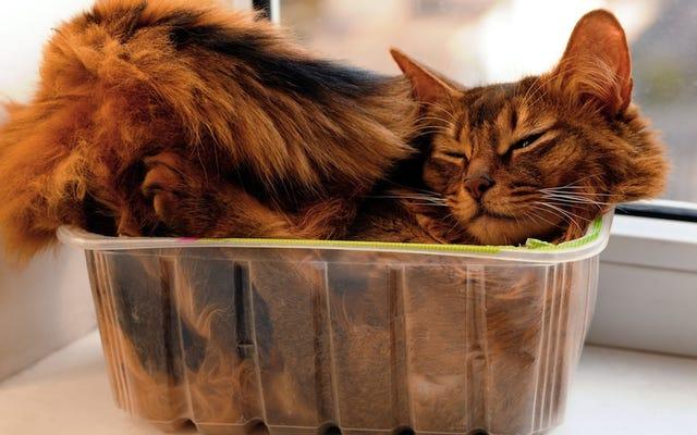 科学は猫が箱をとても愛する理由を説明しようとします