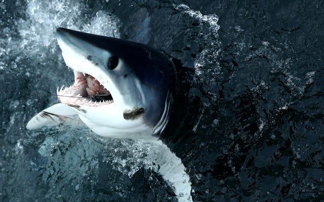 'มันน่าสมเพช:' โลกล้มเหลวในการปกป้องหนึ่งในฉลามที่กินมากที่สุด