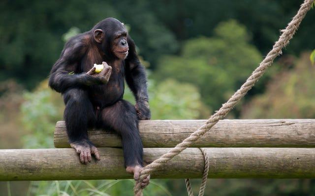 La corte de apelaciones dice que los chimpancés no son personas jurídicas: por eso están equivocados