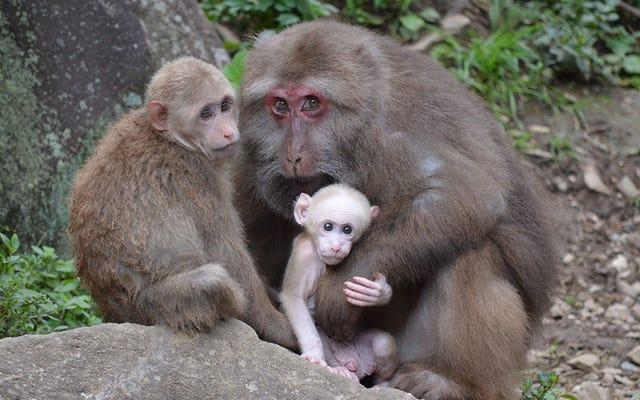 Hubungan Primata Lebih Berantakan Dari Yang Kita Pikir, Riset Baru Menyarankan
