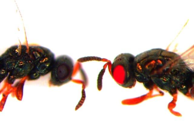 科学者たちは、なぜ地獄ではないので、恐ろしい赤目突然変異ハチを作っています